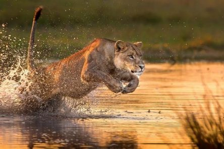 lioness running safari and yoga holiday